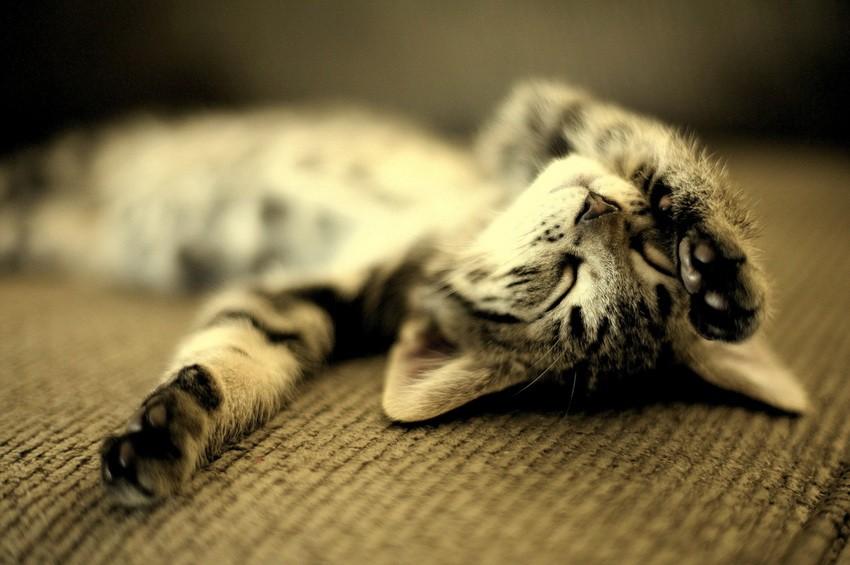 Как спят коты SwTeam.info.